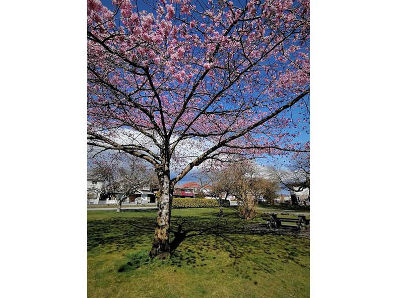 a photo of an ornamental cherry tree in bloom